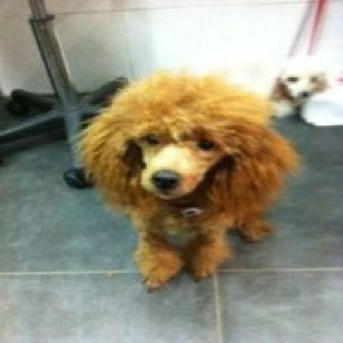 Picture of a red-brown poodle dog after a haircut