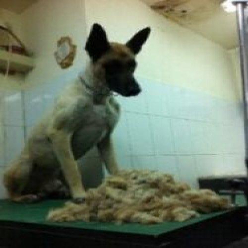 Malinoa dog haircut n.1