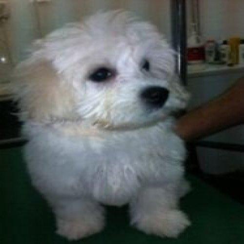 Haircut of a Maltese dog in the barbershop