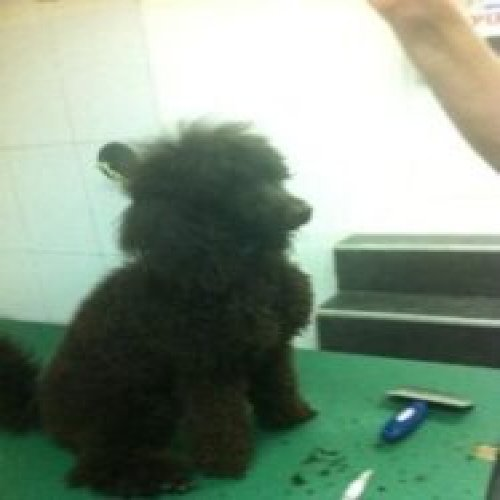 Picture of a poodle dog after a haircut