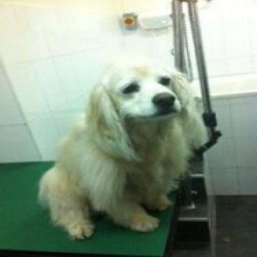 Haircut for a cocker dog after a short haircut