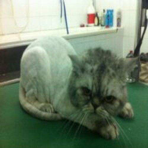 Cat haircut
