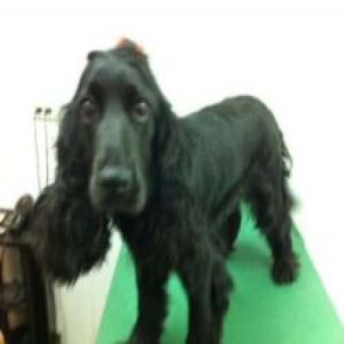Picture of No. 2 black cocker dog
