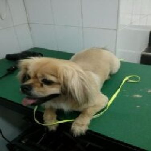 A picture of Pekingese at the barbershop