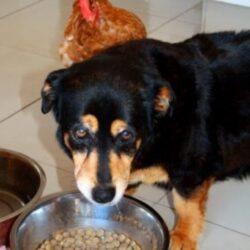מזון לכלבים על בסיס עוף