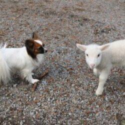 מזון לכלבים על בסיס כבש