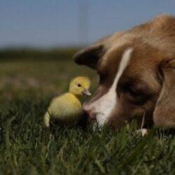 מזון לכלבים על בסיס ברווז